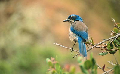 Island Scrub Jay Channel Islands NP CA SCAN-0012-SS