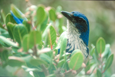 Island Scrub Jay Channel Islands National Park CA SLIDE SCAN BIRDS-35