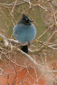 Steller's Jay [February; Zion National Park, Utah]