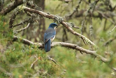 Western Scrub Jay? Big Bend National Park TX 148_4860
