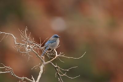 Western Scrub Jay [February; Zion National Park, Utah]