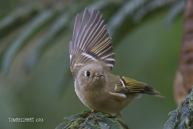 Ruby crowned Kinglet - meadowlark park