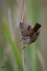 MARSH WREN - TOBAY