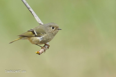 RUBBY CROWNED KINGLET - BAILEY ARBORETUM