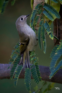 RUBBY CROWNED KINGLET - BAILEYS