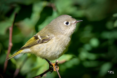 RUBY CROWNED KINGLET - BAILEYS