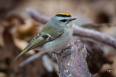 GOLDEN CROWNED KINGLET - SUNKEN MEADOW