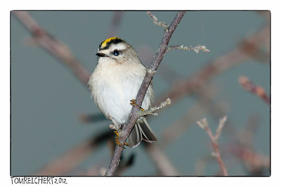 GOLDEN CROWNED KINGLET - CAUMSETT PARK