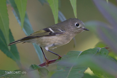 Ruby crowned Kinglet - Muttontown Pres.