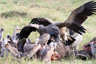Vultures on a Carcass