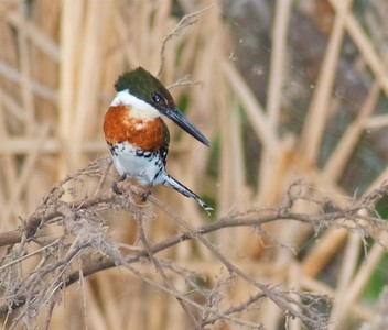 Green Kingfisher fishing a resaca [April; Krenmueller Farms, Lower Rio Grande Valley, Texas]