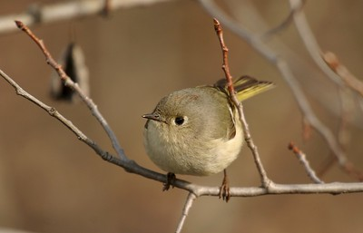 Unless agitated, the Ruby-crowned Kinglet keeps its ruby crown concealed. You can see a hint of it here [April; Carlton County, Minnesota]