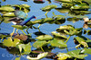 Purple Gallinule skipping over lilies, Lk Kissimmee FL