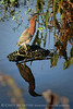 Green Heron, Wacky FL (1)