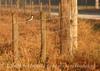 Loggerhead shrike on barbed wire, FL