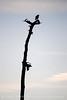 Hawk silhouette, FL
