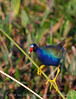 Purple gallinule on reed, Wacky FL (1)