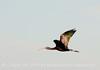 Glossy ibis in flight, Lk Kissimmee FL