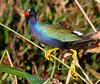 Purple gallinule on reed, Wacky FL (3)