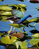 Purple Gallinule skipping lilies CU