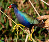 Purple gallinule on reed, Wacky FL (2)