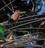 Green Heron, Wacky FL (3)