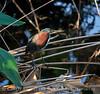 Green Heron, Wacky FL (4)