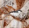 Loggerhead Shrike on palm, FL