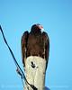 Turkey Vulture on pole, FL
