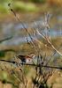 Savannah Sparrow on fence, FL