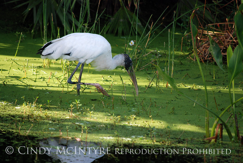 Wood stork, Green Cay FL