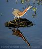 Green Heron, Wacky FL (2)