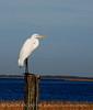 Great Egret, Lk Kissimmee FL
