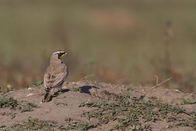 Horned Lark Badlands National Park SD-0242