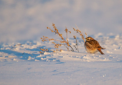 Horned Lark at Minus -13 F S Maere Road just N of Cemetery Road Carlton County MN -0348