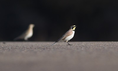 Horned Lark Aitkin County MN IMG_1560