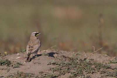 Horned Lark Badlands National Park SD-0241