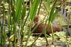Limpkin chick, GreenCay FL (2)