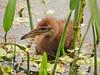 Limpkin chick, GreenCay FL (6)