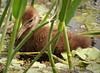 Limpkin chick, GreenCay FL (1)