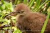 Limpkin chick, Green Cay FL (2)