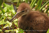 Limpkin chick, Green Cay FL (4)