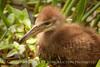 Limpkin chick, Green Cay FL (3)