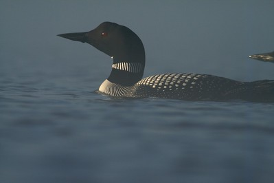 Common Loons are very curious birds. They actually approached my floating blind [May; Tobin-Kimmes Wetlands, Douglas County, Wisconsin]