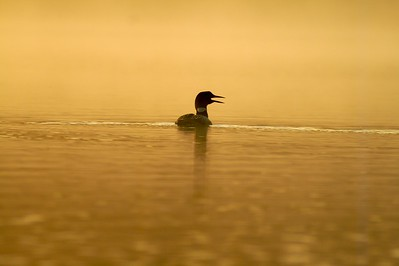 A Common Loon calls in the golden yellow mist of a Boundary Waters sunrise [August; BWCAW Minnesota]