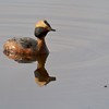Migrating Horned Grebe in the St. Louis River estuary [May; Indian Point Campground, Duluth, Minnesota]