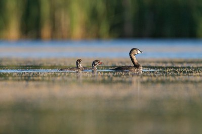 An adult Pied-billed Grebe leads the brightly colored juvenile [July; Tobin-Kimmes Wetlands, Douglas County, Wisconsin]