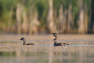 Pied-billed Grebe with the boldly marked juvenile [July; Tobin-Kimmes Wetlands, Douglas County, Wisconsin]
