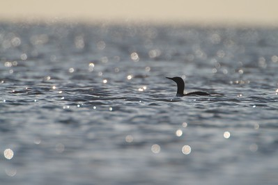 Red-throated Loons appear on Lake Superior in May in most years [May; Park Point, Duluth, Minnesota]