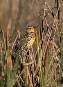 WESTERN MEADOWLARK - ADULT BREEDING